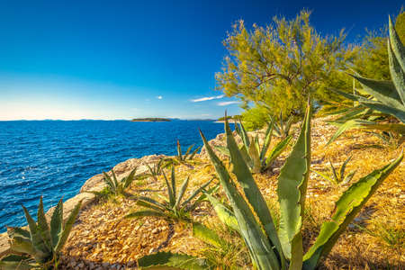 Cactuses on the Adriatic coast in Primosten town, a popular tourist destination on the Dalmatian coast of Adriatic sea in Croatia, Europe.