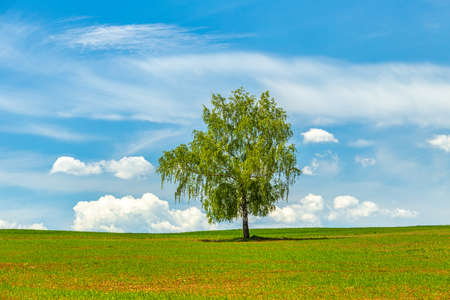 Lonely tree on a grassy meadow with blue sky and clouds at spring time.