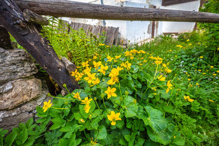 Marsh-marigold or kingcup (Caltha palustris latin name), perennial herbaceous plant, group of yellow flowers growing by the house.