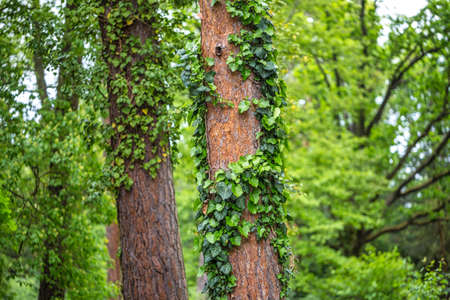 Tree trunks overgrown with leaves in close-up view. Stockfoto