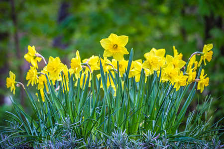 Blooming flowerbed of yellows narcissus on a blurred background.