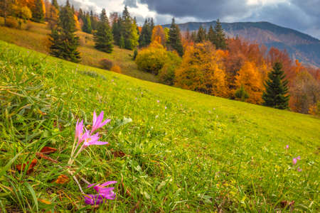 Crocus flower blooming on mountain meadow in autumn. The Vratna valley in Mala Fatra national park, Slovakia, Europe. Stockfoto
