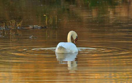 waterbird: large white waterbird swiming