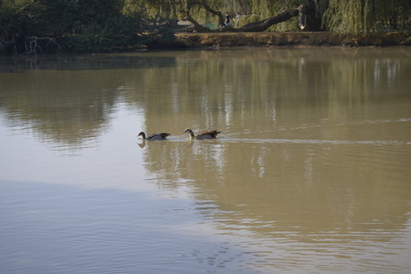 two ducks: Two ducks on a pond