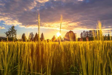 Finnish barley field in sunset. Photo from Sotkamo, Finland. 写真素材