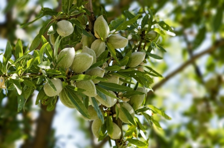 Close-up of Almonds on Tree photo
