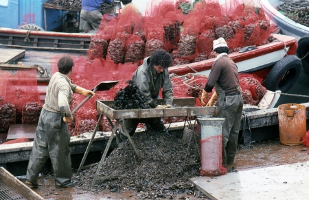 EL GROVE, PONTEVEDRA, GALICIA, SPAIN - JULY, 1983  The crew of a fishing boat clean a mussel and put them in bags for sale on July, 1983 in El Grove, Pontevedra, Galicia, Spain