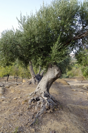 A olive grove in Sicily, Italy photo