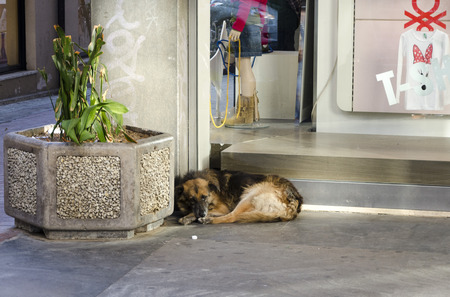 dozing: PALERMO, SICILY, ITALY - OCTOBER 3 2012: A stray dog dozing in the commercial area of the city, on October 3, 2012 in Palermo, Sicily, Italy Editorial