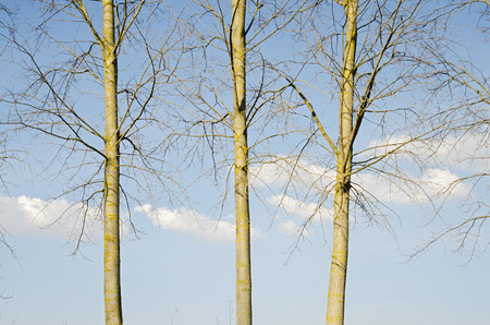 denuded: three poplars silhouetted against the winter sky