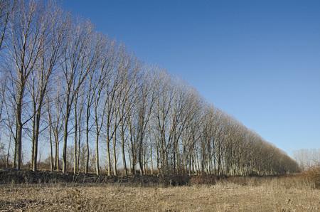 poplars: winter: row of poplars along the road Stock Photo