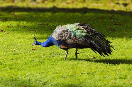 descriptive color: peacock in pretty colors walking by