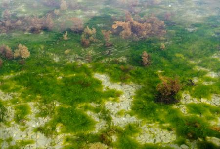 algae: fish swimming among algae in Adriatic sea
