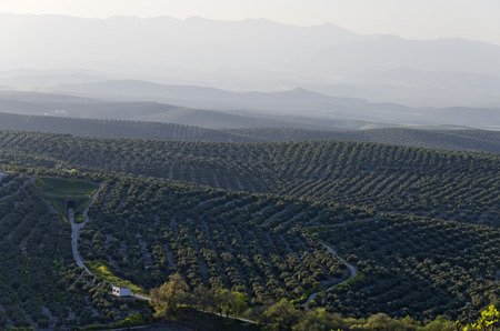 olive groves: View of olive groves and countryside, Ubeda, Jaen Province, Andalusia, Spain, Western Europe. Stock Photo