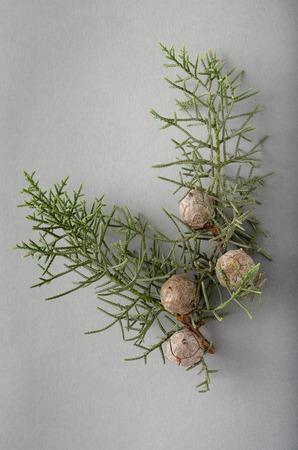 enebro: Juniper ramita y bayas