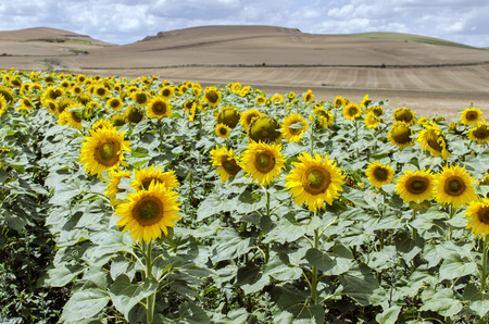 shallow  focus: Sunflower field, shallow focus