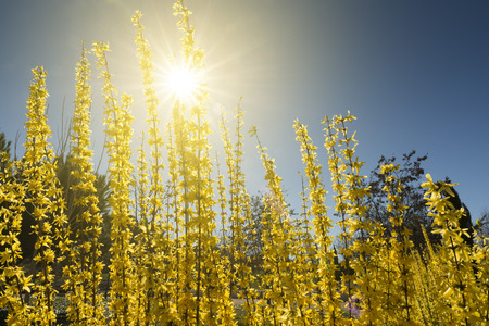 early blossoms: Yellow forsythia blossoms in early spring. Copy space Stock Photo