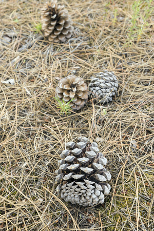 mediterranean forest: cones on the floor of a pine forest Stock Photo