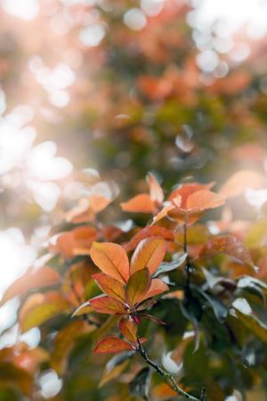 iluminado a contraluz: retroiluminada deja Prunus cerasifera var. pissardii. primavera Foto de archivo