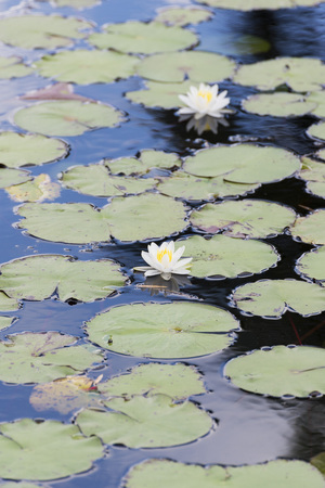 upperdeck view: water lilies in a pond in Cuba Stock Photo