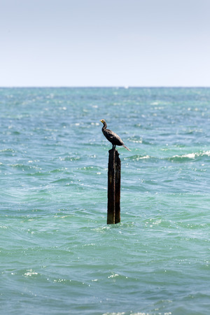 carbo: Great CormorantBlack Shag, (Phalacrocorax Carbo) Stock Photo
