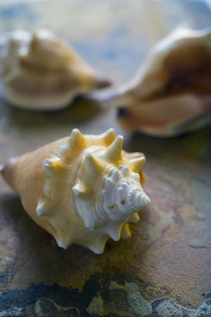 quartzite: Three shells on a quartzite flake Stock Photo