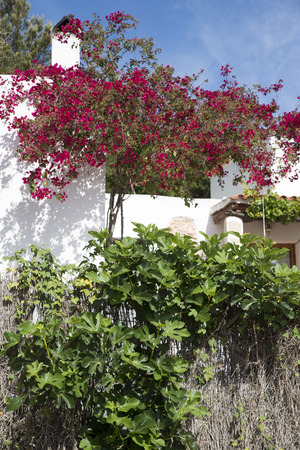 fig tree: bougainvillea and fig tree in front of a white house in Ibiza Stock Photo