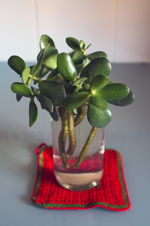 crassula ovata: Crassula ovata cuttings in a glass jar