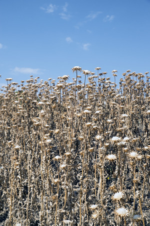 impenetrable: impenetrable thicket of thistles in late summer Stock Photo