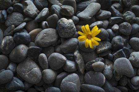 black pebbles: a yellow flower among black pebbles