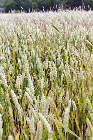 chaff: Ears of green wheat growing in a wheat field
