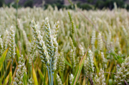 futures: Ears of green wheat growing in a wheat field