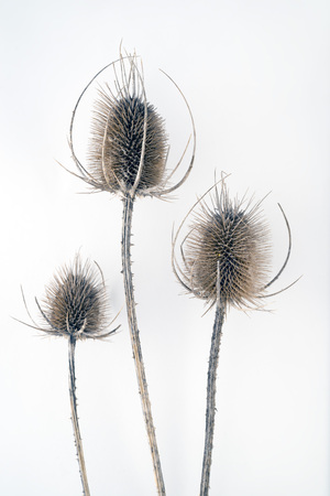 needle tip: Three dead, dry long thistles over white background
