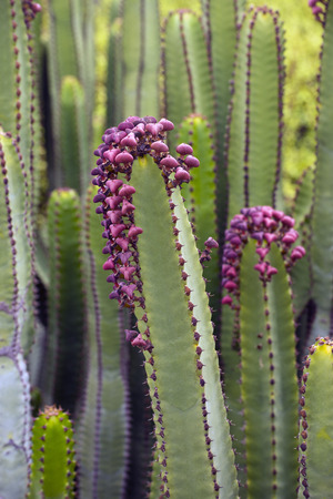 canary: Euphorbia Canariensis - canary island typical cactus