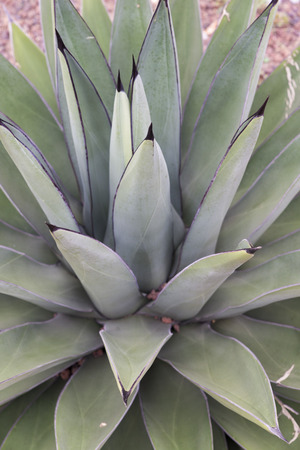 sharp: succulent plant with sharp leaves