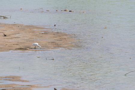 bird sanctuary: great egret (Ardea alba) in the nature reserve and bird sanctuary Charca de Maspalomas (Maspalomas Pond) in Grand Canary island Stock Photo