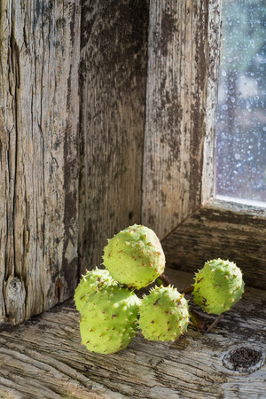 embrasure: chestnuts in their pods on the windowsill of an old window