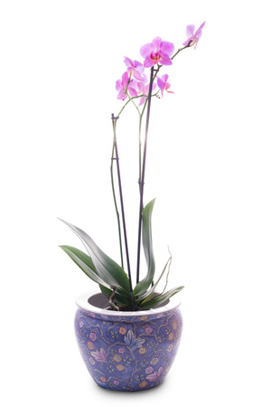 enameled: enameled pot with a orchid isolated on white background