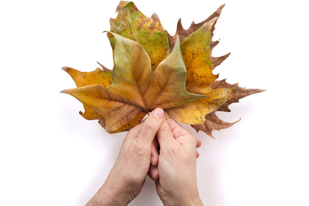 Hands holding dried leaves. Isolated on white background