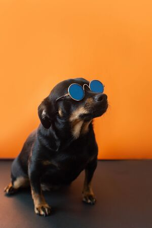 the Little funny dog with glasses Фото со стока
