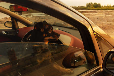the Little black dog in the car