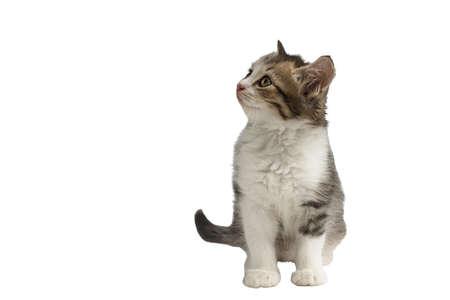 Little kitten isolated on white background. Tabby cat baby.
