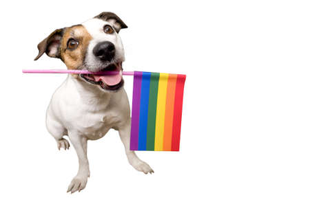 funny dog Jack Russell, holding an lgbt flag in his teeth.