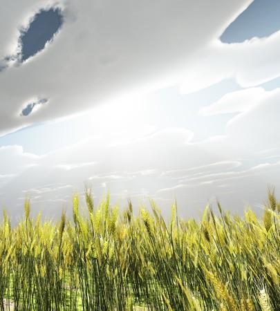 Wheat field photo