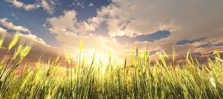 Golden wheat field Stock Photo