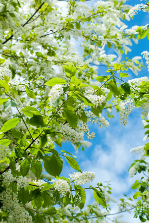 environmen: The branches bird cherry blossoms in early spring (Prunus padus)
