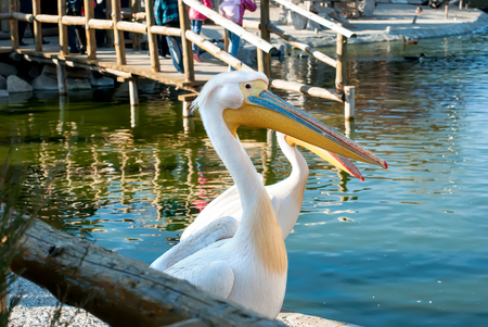 membranes: Portrait nice pelican in nature,  on the lake in the zoo Stock Photo