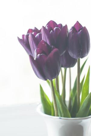 dark purple tulip often referred to as black tulips in vase