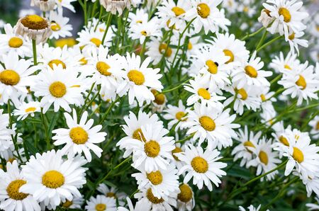 Campo de flores de manzanilla prado de la familia de las margaritas, fotos de verano de flores. enfoque selectivo Foto de archivo