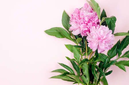 Beautiful pink peony flowers on pastel pink background with place for text. Holidays concept. Greeting card. Flat lay, top view, copy space